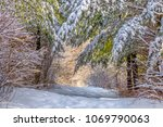 Branches of pine trees covered with fresh heavy snow on a leading path in the forest.