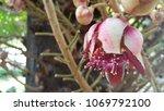 pink cannonball flower   Shutterstock . vector #1069792100