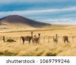 four curious guanaco lamas ...   Shutterstock . vector #1069799246