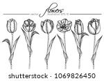 hand drawings tulip flowers.... | Shutterstock .eps vector #1069826450