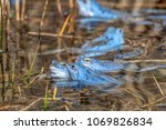 male moor frogs turn into a... | Shutterstock . vector #1069826834