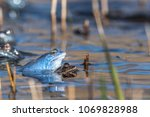 moor frogs when mating. the... | Shutterstock . vector #1069828988