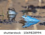 moor frogs when mating. the... | Shutterstock . vector #1069828994
