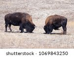 Wild Bison Sparring Each Other...