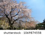 cherry tree blossoms in seoul ... | Shutterstock . vector #1069874558