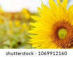 Small photo of Closeup and clop big sun flower on blurry and sun flare with sky background.