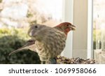 A Male House Finch Looks Ahead...