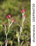 Helichrysum Sanguineum   Aka...