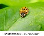 Asian Ladybird Portrait ...