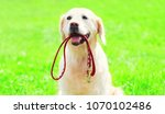 Stock photo golden retriever dog with a leash is sitting on the grass on a summer day 1070102486