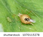 Small photo of The pea aphid Acyrthosiphon pisum parasitized by Braconidae (Hymenoptera) a family of parasitoid wasps
