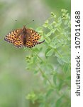 Small photo of Nature background with Dark Green Fritillary butterfly - Argynnis aglaja