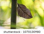 Mimicry Butterfly  Kallima...