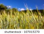 Wheat Ears Against Blue Sky...