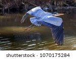 a great blue heron  ardea... | Shutterstock . vector #1070175284