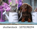 Stock photo puppy dachshund and kitten scottish fold 1070198294