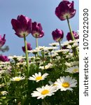 tulips and daisies on grass.... | Shutterstock . vector #1070222030