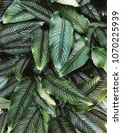 exotic tropical plant leaves... | Shutterstock . vector #1070225939