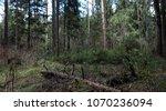 pine forest. depths of a forest.... | Shutterstock . vector #1070236094