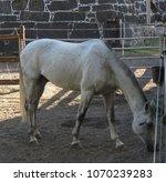 horse  equus ferus caballus ... | Shutterstock . vector #1070239283