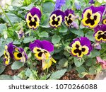 pansy flowers vivid yellow... | Shutterstock . vector #1070266088