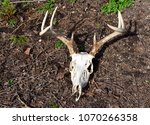 Skull And Antlers Of A...