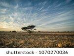 acacia tree on a stark...