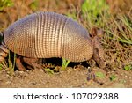 Nine Banded Armadillo Digs In...