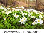 the first spring flowers in the ... | Shutterstock . vector #1070339810