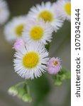 """Small photo of Spring roadside flowers """"Philadelphia fleabane"""""""