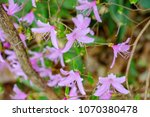 "light pink ""yamato tsuji"" which ... | Shutterstock . vector #1070380478"