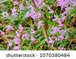 "light pink ""yamato tsuji"" which ... | Shutterstock . vector #1070380484"