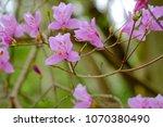 "light pink ""yamato tsuji"" which ... | Shutterstock . vector #1070380490"