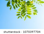 green leaf of tree with... | Shutterstock . vector #1070397704