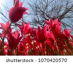 natural red tulips. spring with ... | Shutterstock . vector #1070420570