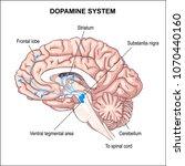 dopamine system. anatomy of the ...   Shutterstock .eps vector #1070440160