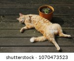 ginger cat lying on back on... | Shutterstock . vector #1070473523