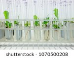 micro plants of cloned oak with ... | Shutterstock . vector #1070500208