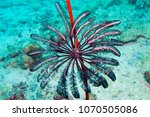 crinoid at the great barrier... | Shutterstock . vector #1070505086