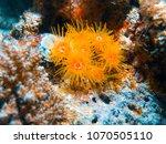 Small photo of Coral anemone (Actinia Tubastrea) close up photo
