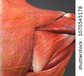 shoulder muscles with arteries...   Shutterstock . vector #1070545178