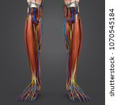 legs muscle anatomy with...   Shutterstock . vector #1070545184