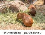capybara  hydrochaeris...   Shutterstock . vector #1070555450