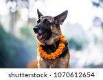german shepherd with a marigold ... | Shutterstock . vector #1070612654
