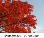 Maple Tree Turn Its Leaves To...