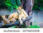 Lioness With Lion Cubs On Tree...