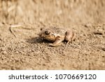 the western toad  anaxyrus... | Shutterstock . vector #1070669120