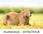 capybara  hydrochaeris...   Shutterstock . vector #1070674418