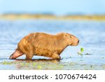 capybara  hydrochaeris...   Shutterstock . vector #1070674424