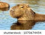 capybara  hydrochaeris...   Shutterstock . vector #1070674454